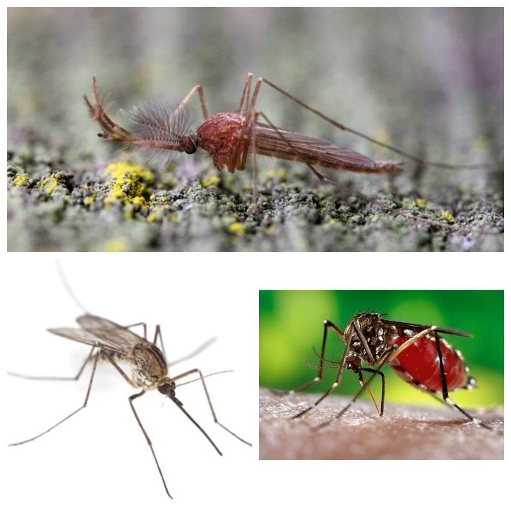 Всё об укусах комара: ротовой аппарат, физиология, причины зуда, риск заражения инфекциями, которые переносят комары