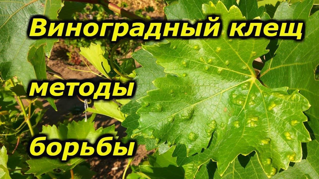 Как избавиться от паутинного клеща на винограде - про сорта