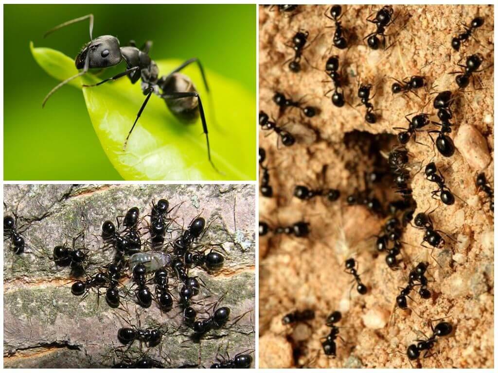 Красные муравьи: как избавиться в квартире, на огороде