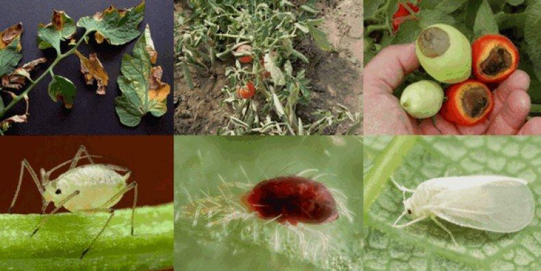Чем уничтожить белокрылку на помидорах: эффективные препараты и народные средства