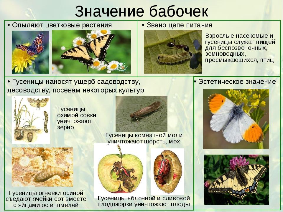12 разновидностей моли с фото и описанием: черная моль, крупяная, фруктовая, шубная, древесная и другие