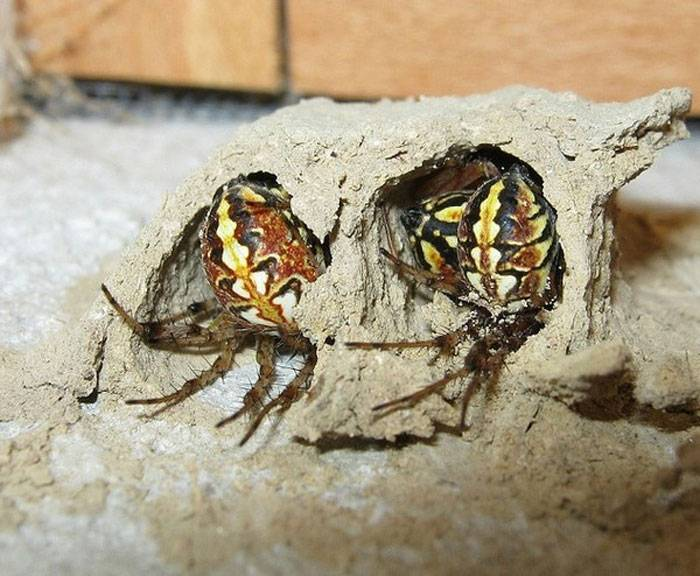 Проблемы мигрантов в мире насекомых, или «безобразное» поведение безобразного пелопея |  воронежский государственный природный биосферный заповедник имени в.м. пескова