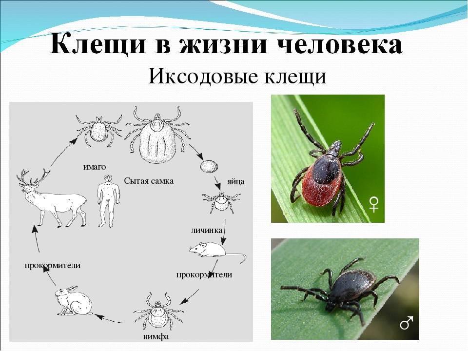 Клещи зимой – как проходит пассивная фаза жизни паразитов