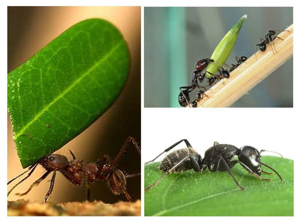 Сколько весит муравей и сколько он может поднять больше своего веса?