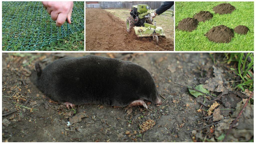 Земляная крыса в огороде: как избавиться, народные средства