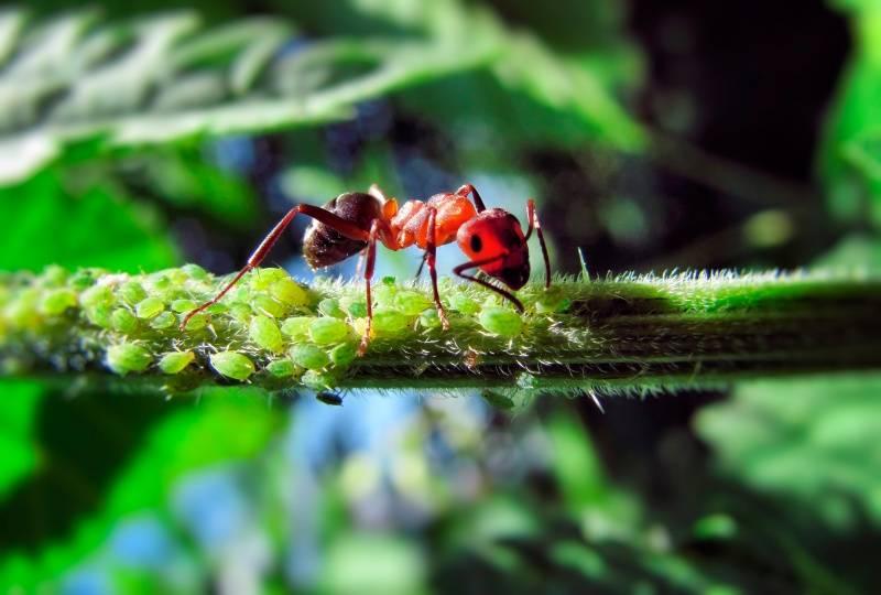 Тип взаимоотношений муравьев и тли