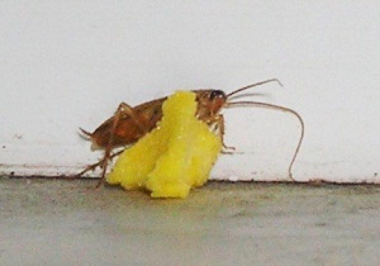 Что едят тараканы в квартире в домашних условиях и в природе – как использовать любимые продукты насекомых в борьбе с ними