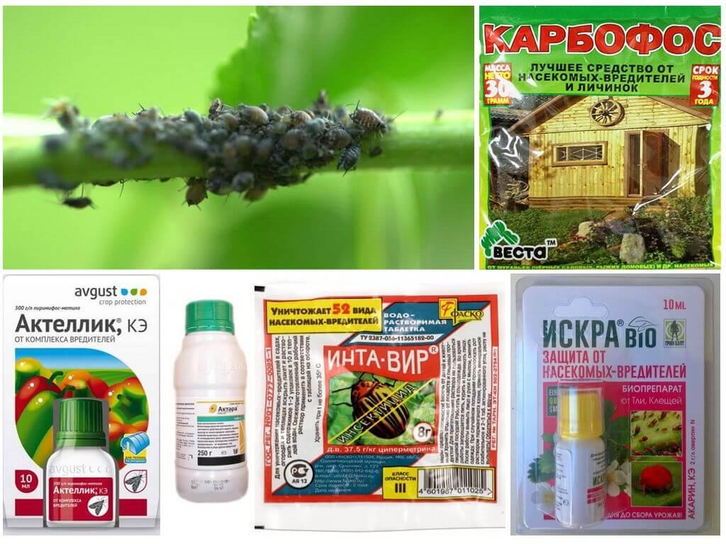 Меры борьбы с тлей на комнатных растениях – простые народные рецепты и профессиональные препараты