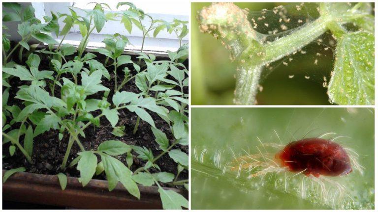 Как бороться с клопами на помидорах
