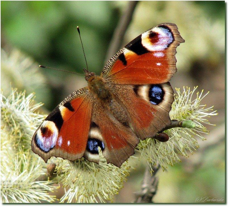 А где зимуют бабочки? как зимует бабочка павлиний глаз: раскрываем секреты насекомого.