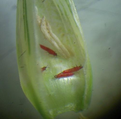 Западная цветочная букашка, калифорнийский трипс