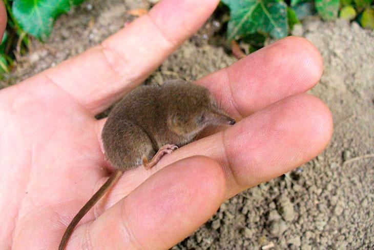 Особенности бурозубки: внешний вид (фото), размножение и рацион питания