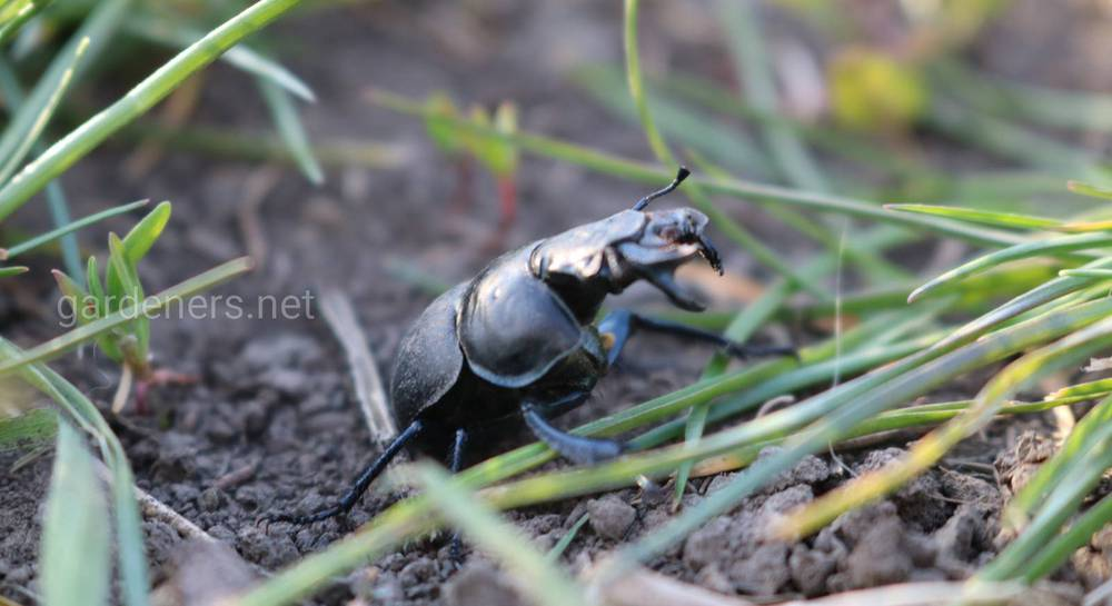 Как избавиться и чем опасен жук стригун на даче