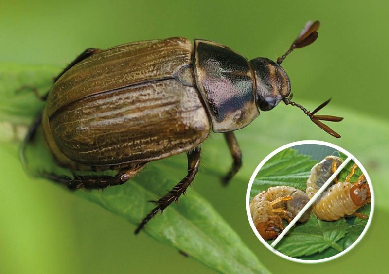 Бронзовка жук. описание, особенности, виды и среда обитания жука бронзовки