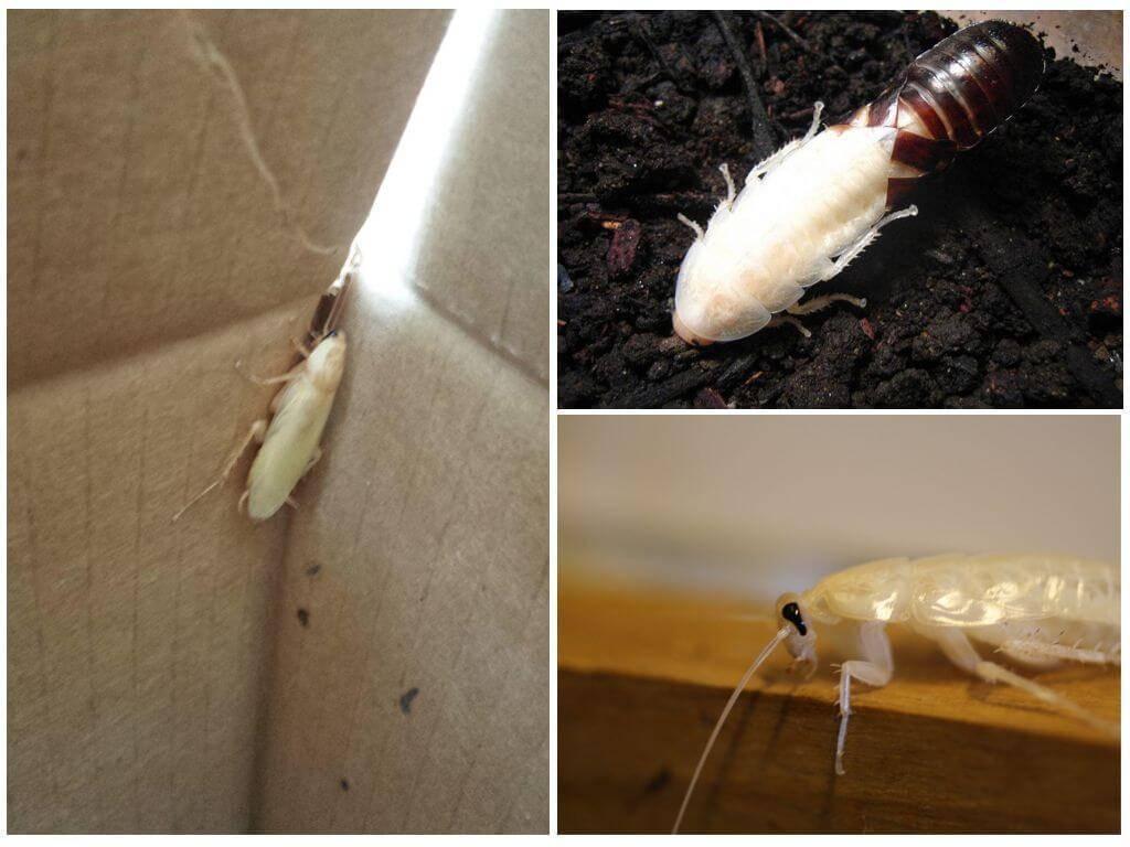 Белый таракан в квартире - что это?