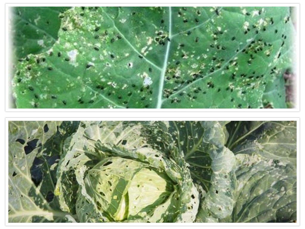 Чем обработать капусту от блошки: эффективные меры борьбы, видео и фото