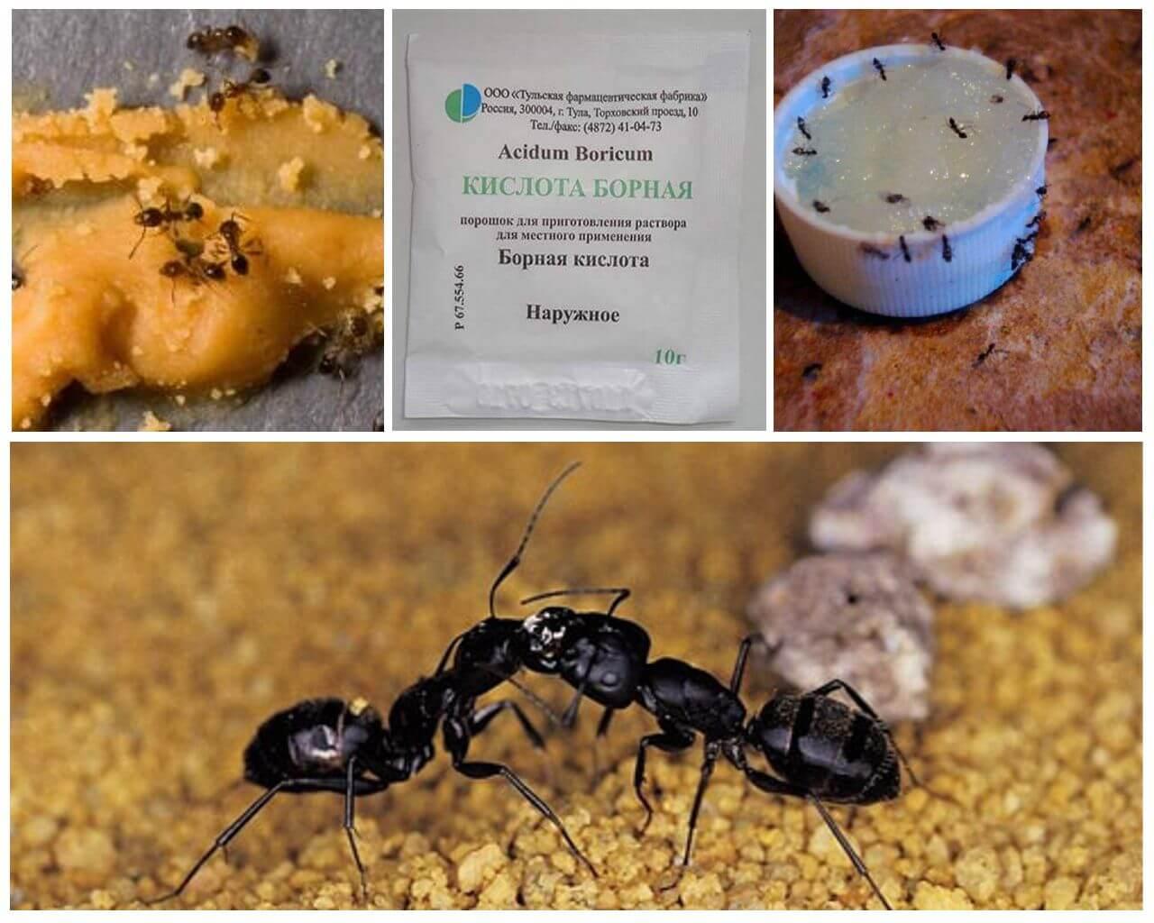 Борная кислота от муравьев в квартире: рецепт, как избавится, эффективность