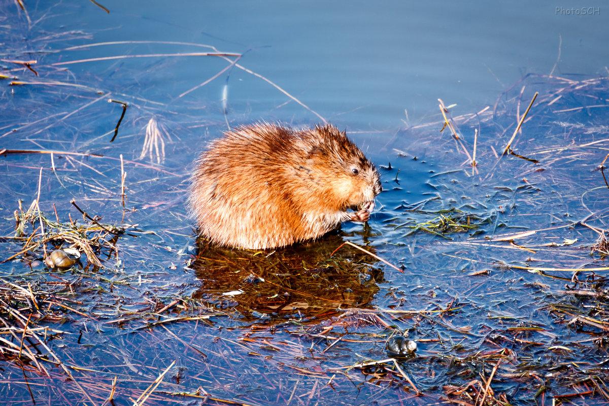 Водяная крыса (полевка) - фото, описание и жизнедеятельность