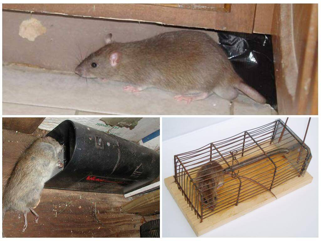 Как бороться и вывести крыс из курятника народными средствами
