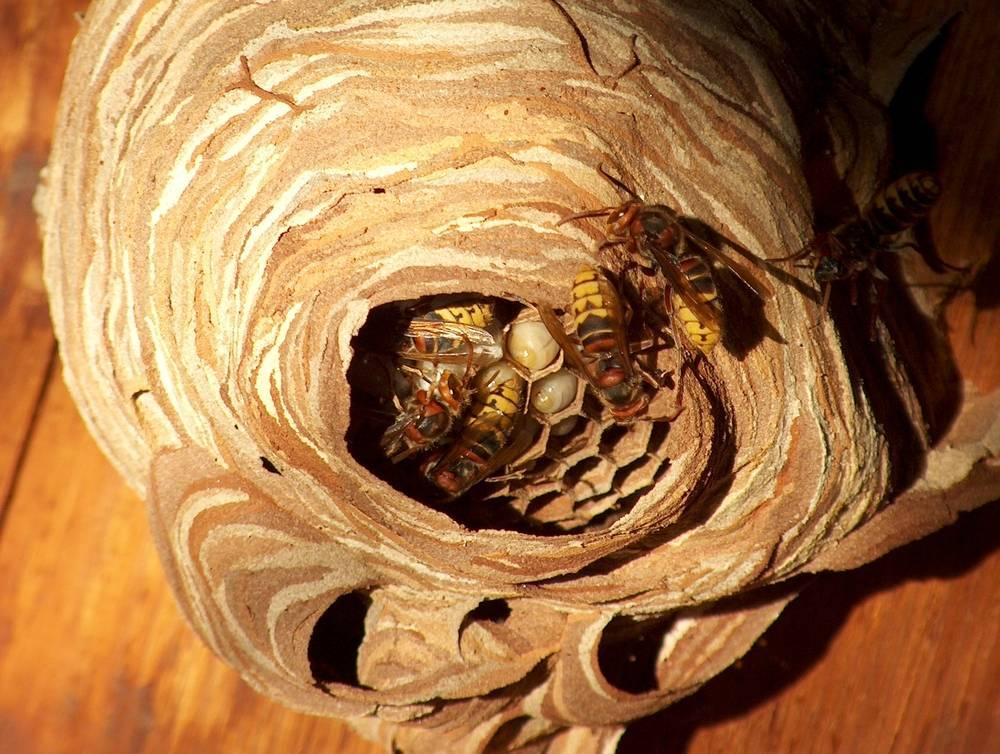 Избавление от шершней и ос на дачном участке, уничтожение гнезд в доме и на чердаке