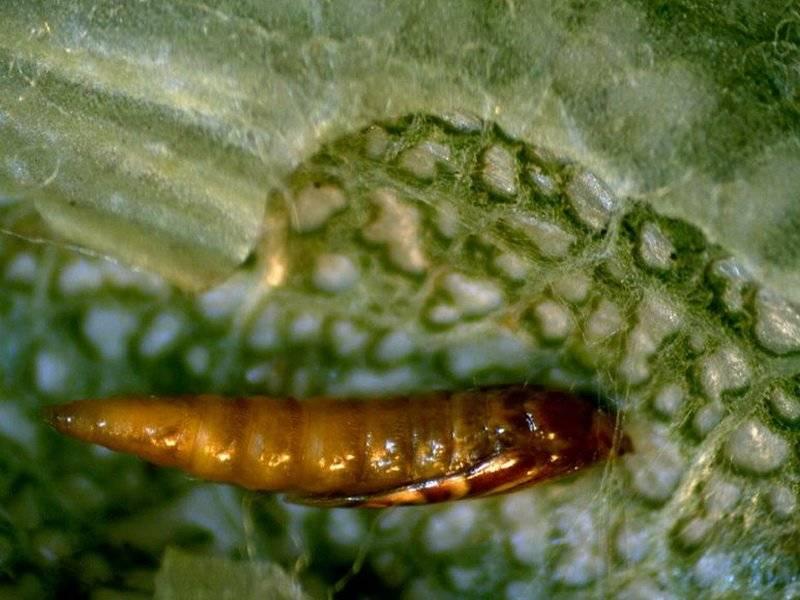 Луковая, или порейная муха: способы борьбы с ней
