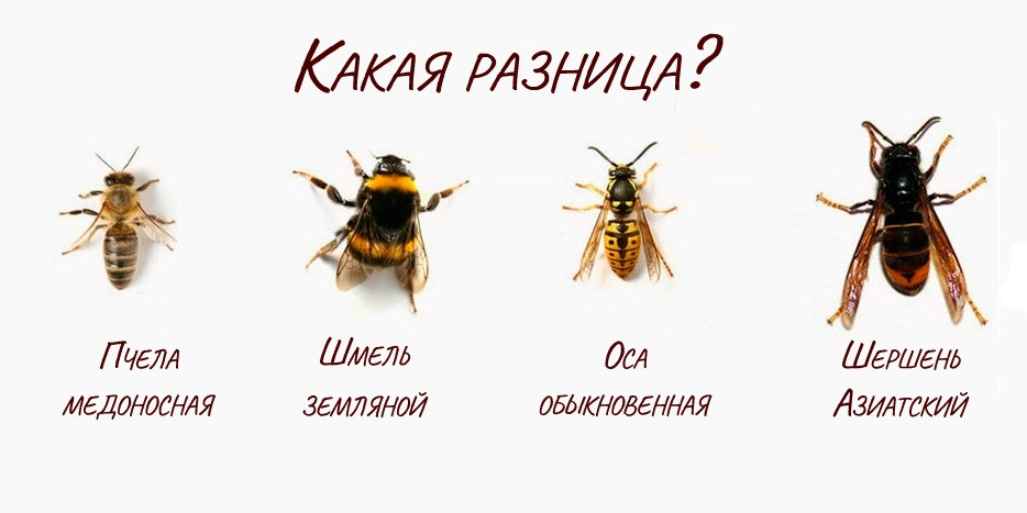 Чем отличается оса от пчелы и шмеля и как не перепутать этих насекомых