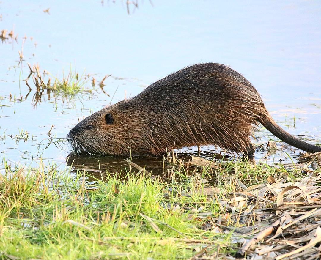 Речная крыса или водоплавающая: вред и польза для человека