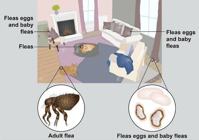Как избавиться от блох на животном. могут ли блохи животных перейти на человека