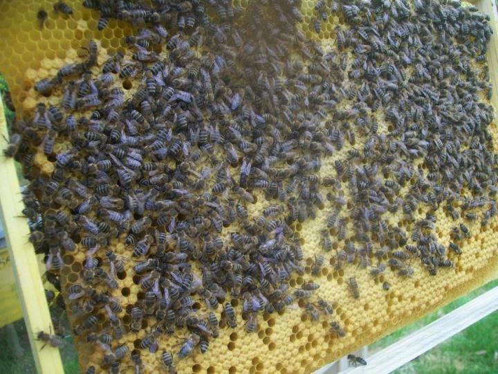 Что представляет собой пчела карпатка