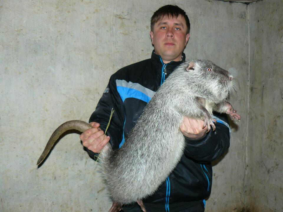 Самые большие крысы в мире: внешний вид и особенности жизни гигантских грызунов