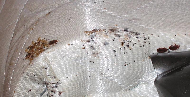 При какой температуре погибают клопы и их яйца при стирке