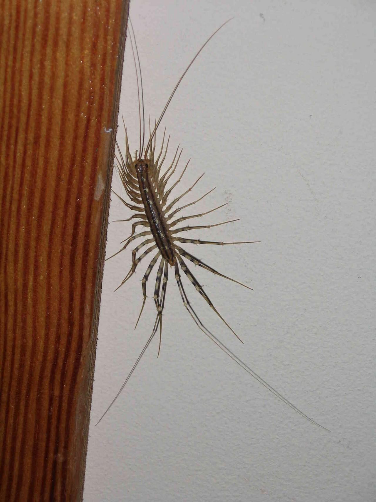Сороконожка мухоловка домашняя: кто это, как избавиться