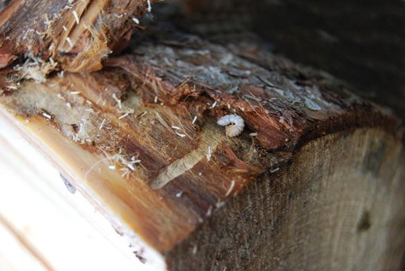 Жук точильщик в доме: как избавиться от древоточца своими руками