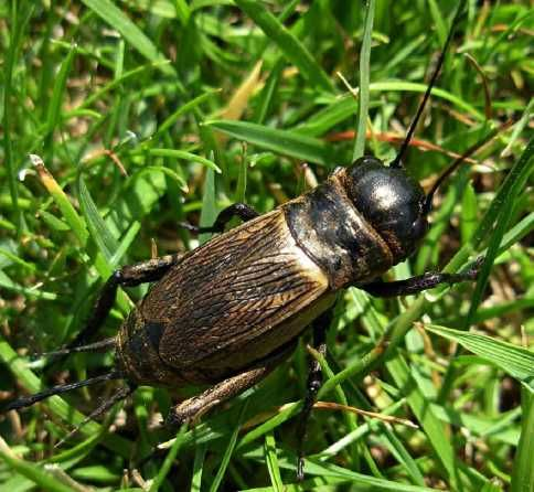 Песчаный медляк: описание внешнего вида и вред от насекомого