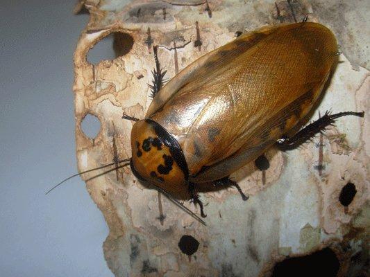 Продолжительность жизни домашних тараканов