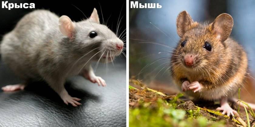 Новорожденные крысята — развитие, уход и кормление детенышей крыс