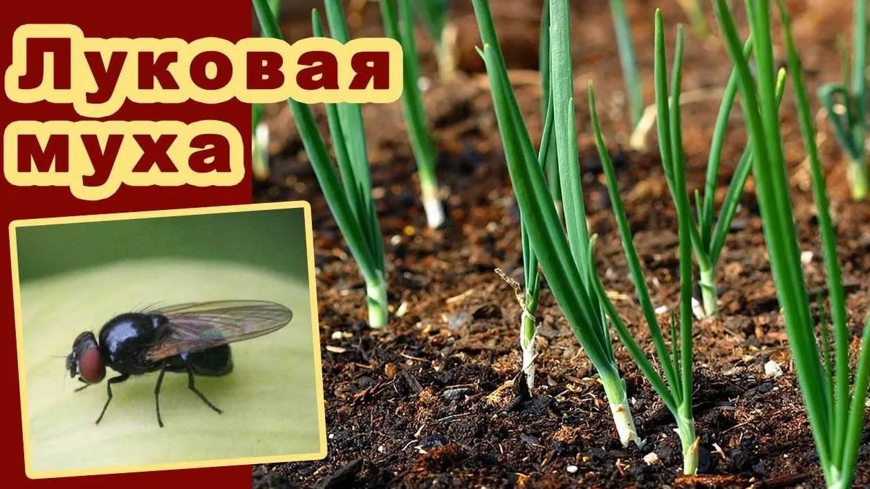 Как бороться с луковой мухой на грядке: чего боится луковая муха?