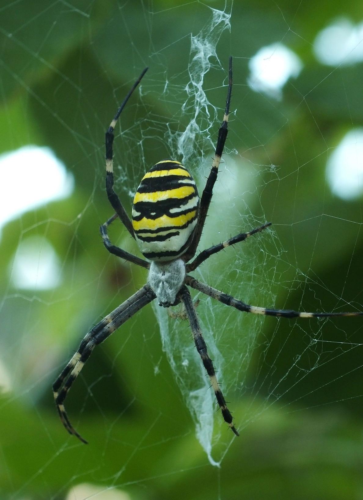 ᐉ паук с желтыми полосками на брюшке – аргиопа брюнниха ядовитая или нет для человека? - zooshop-76.ru