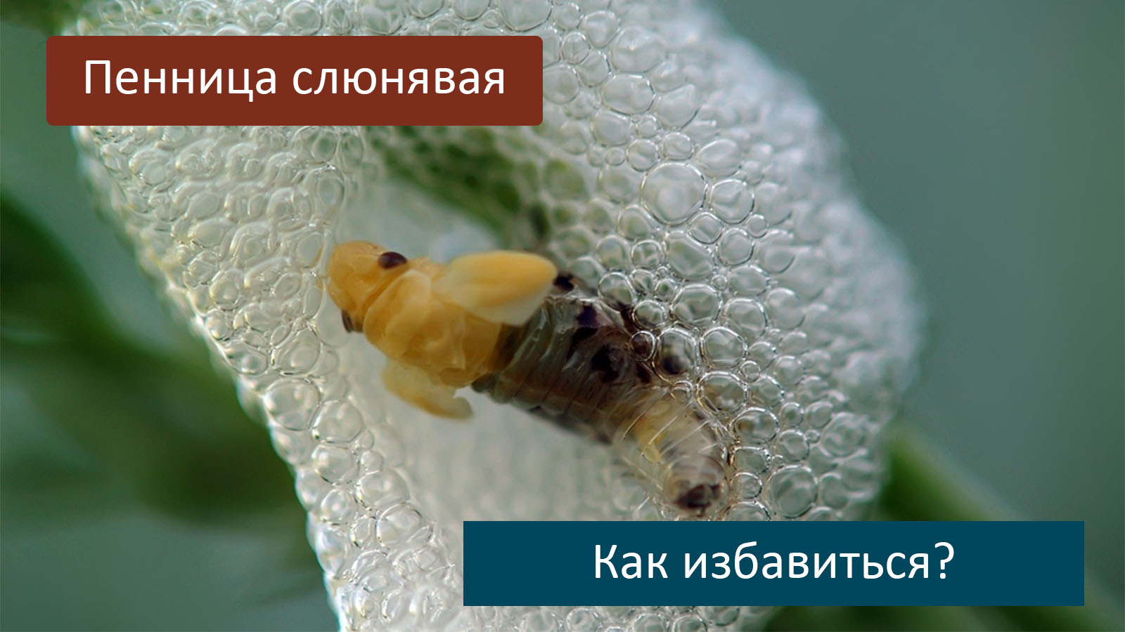 Особенности пенницы ольховой: рацион питания, ареал обитания и вред для растений