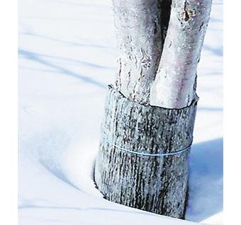 Как защитить яблоню зимой от грызунов: средства, видео и фото