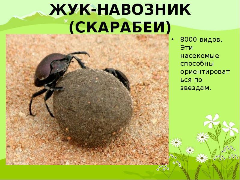 Навозный жук - самое сильное насекомое – удивительные факты
