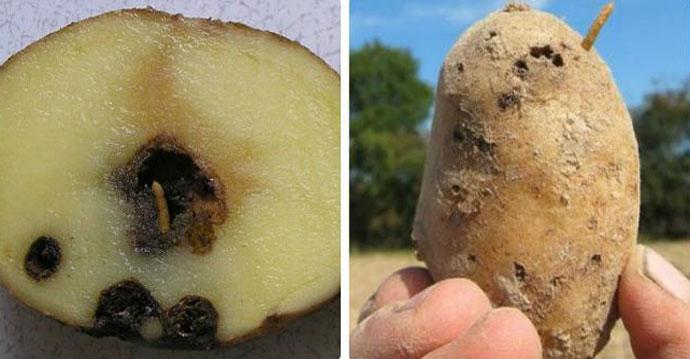 Картофельная моль (фторимея), как бороться с вредителем участке