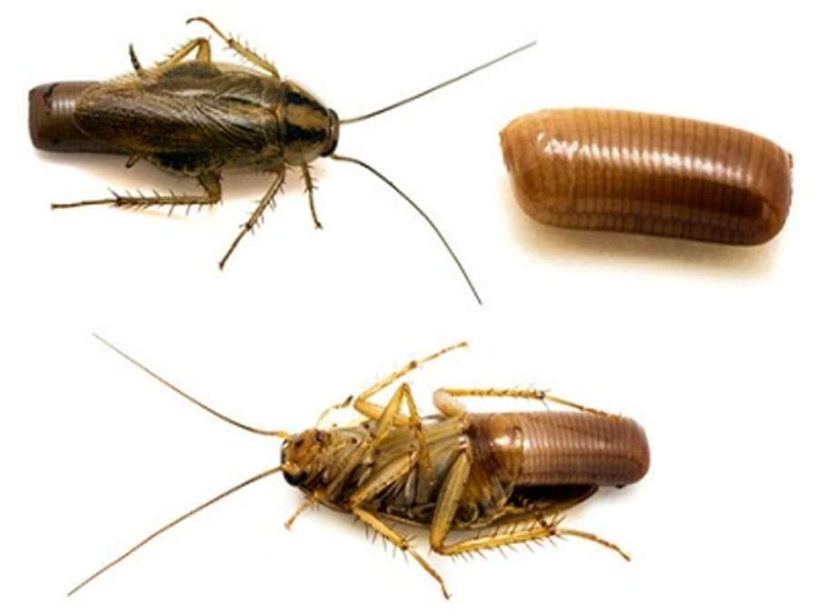 Как размножаются домашние тараканы: насколько быстро это делают?