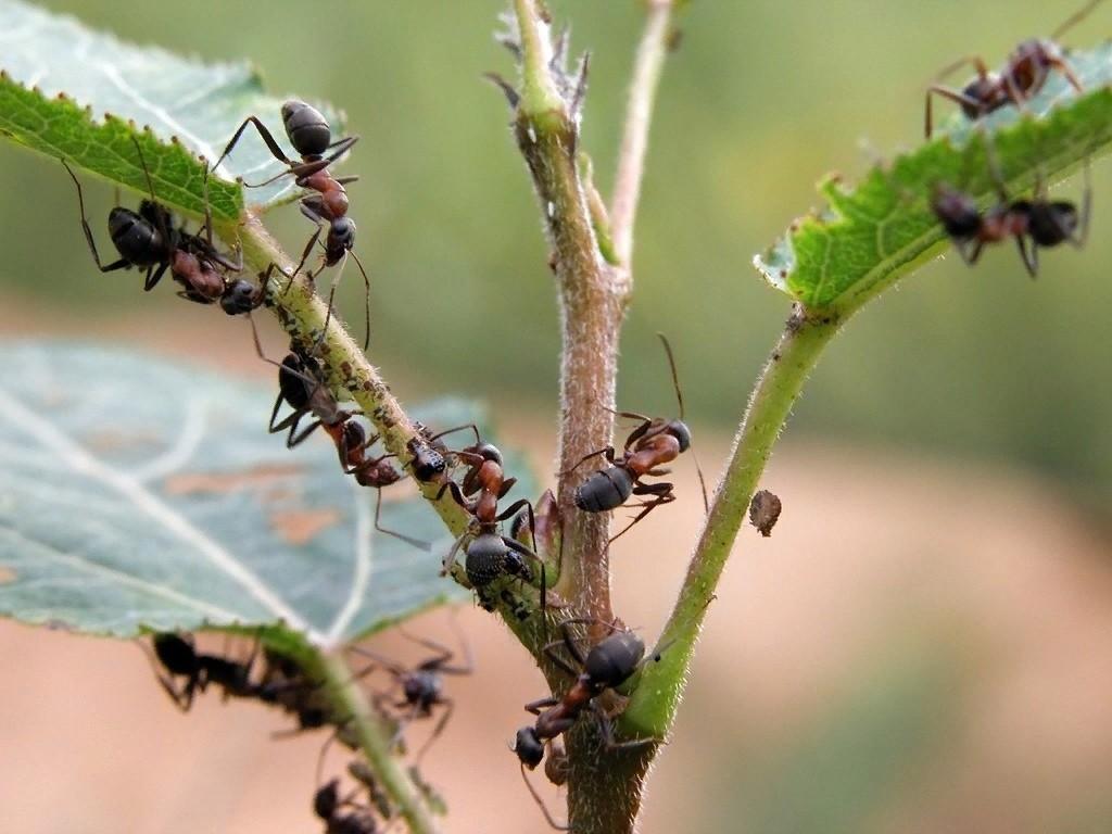 Клубнику едят муравьи что делать