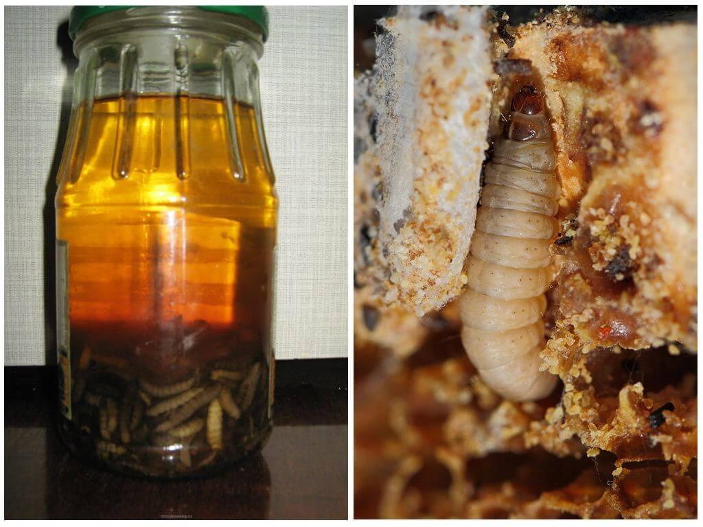 Пчелиная моль. польза и вред, применение, эффективность