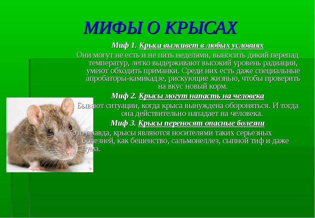 Чем можно заразиться от мышей и крыс? болезни, передающиеся человеку от грызунов. чем можно заразиться от мышей и крыс фекалии мышей