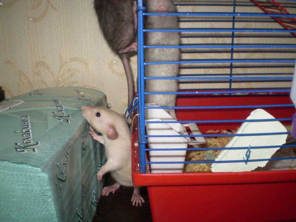 ᐉ зачем крысам длинный лысый хвост - zoopalitra-spb.ru