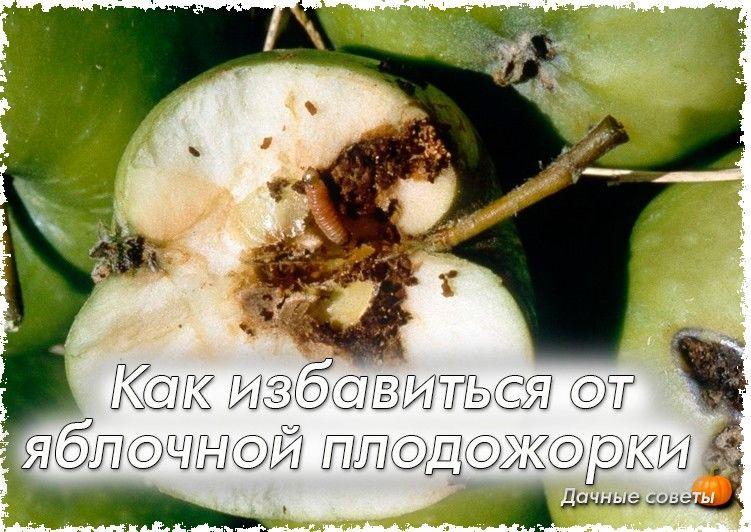 Как справиться с грушевой плодожоркой