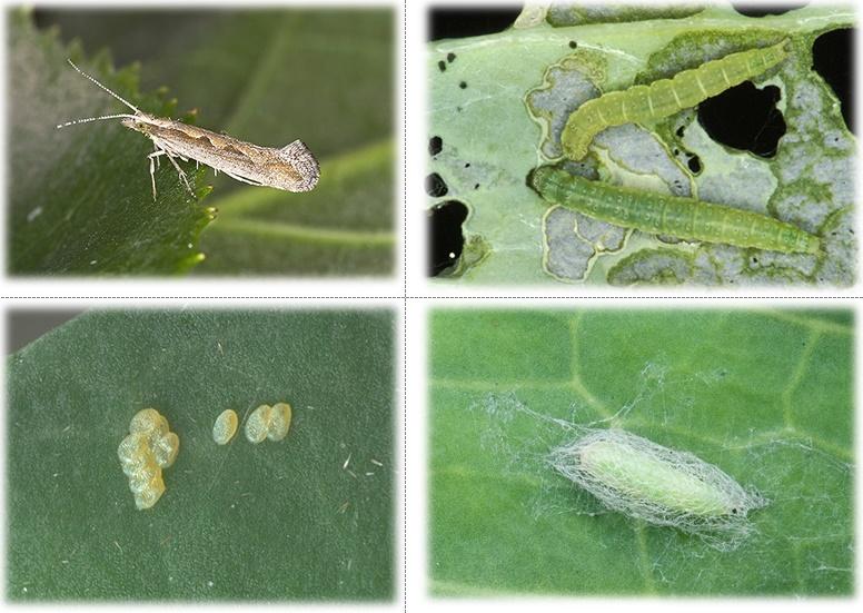 Капустная моль (plutella maculipennis curt), вред и способы борьбы
