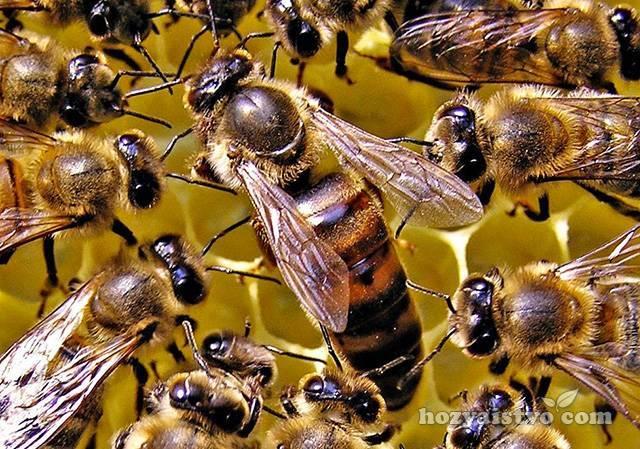 Порода пчел карника: особенности, недостаток и преимущества, характеристика видов